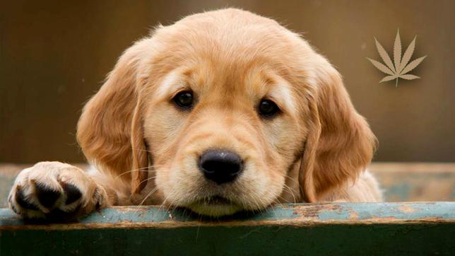 Estudos clínicos avaliam os efeitos do CBD em cães