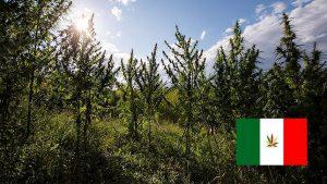 Agricultores Italianos resolvem a crise nacional do trigo com canhamo