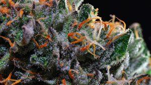 Os tipos de tricomas mais comuns da cannabis e sua relação com cada strain