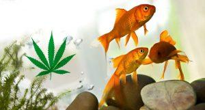 Dr Banz - Aquaponia no cultivo de cannabis