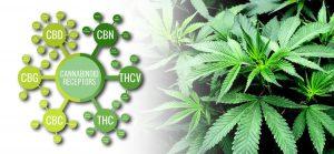 Dr Banz - Outros cannabinóides além do CBD e THC