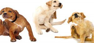 Dr Banz - Cannabis no tratamento de dermatite em cães